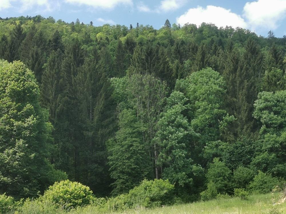 Smrekomaz-kocevski-gozd-2
