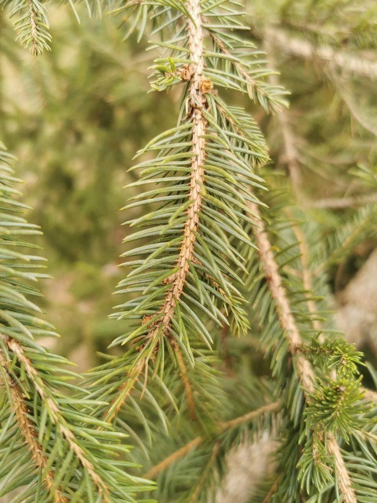 Smrekomaz-smreka-spruce-fichten